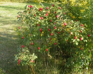 Rosehips on Rosa rugosa wild bush